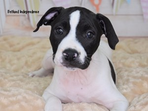 Dogs and Puppies for Sale - Petland Independence, Missouri