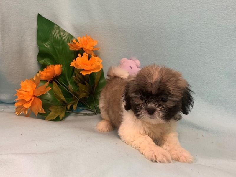 Teddy Bear DOG SBL/WHT ID:2429772 Located at Petland Janesville