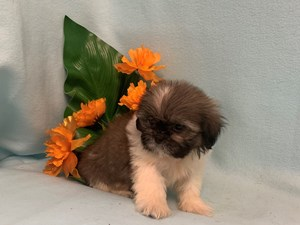 Puppies for sale - Petland Janesville