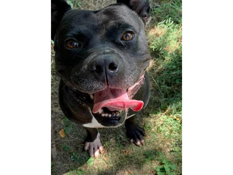 American Pit Bull Terrier-DOG-Male-black, white-2355826-img4