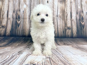 Petland Puppies for Sale in Columbus, Ohio   Puppies for