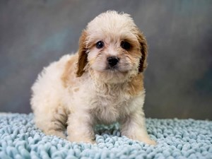 Adorable Puppies in Pickerington, Ohio