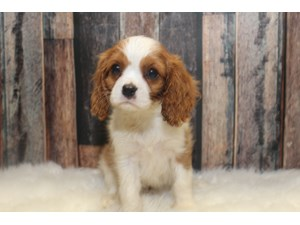 Puppies and Dogs for Sale - Petland Racine, Wisconsin