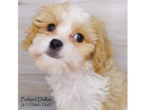 Dogs & Puppies for Sale - Petland Pet Store Dallas, Texas