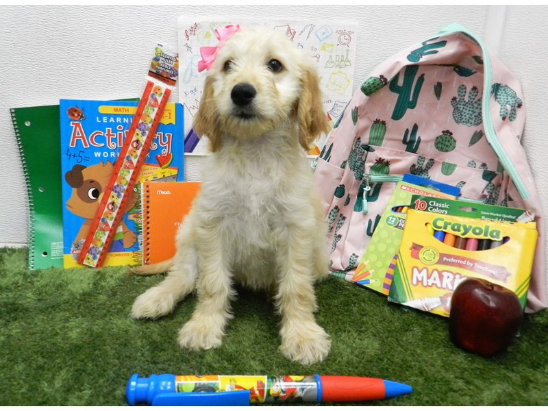 Goldendoodle-DOG-Female-Light Golden-2435822