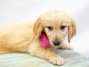 Dogs & Puppies for Sale in Wichita, Kansas - Petland Wichita