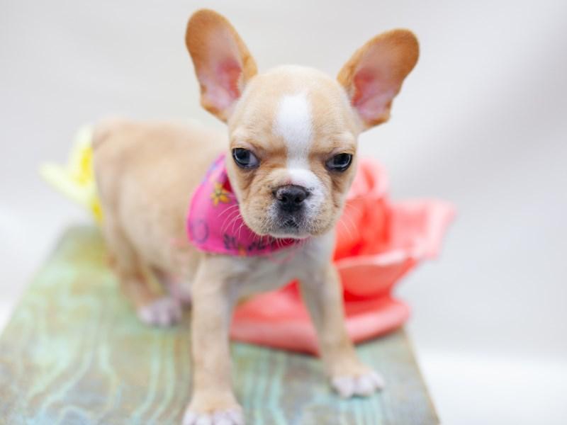 French Bulldog-DOG-Female-Cream-2435538