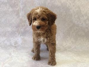 Puppies for Sale in Florida – Petland Bradenton Pet Store