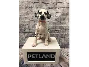 See Our Puppies For Sale   Come visit Petland St  Louis