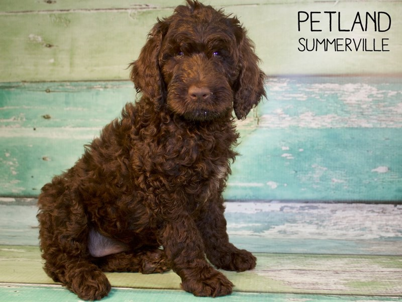 F2 STANDARD GOLDENDOODLE DOG Chocolate ID:2433176 Located at