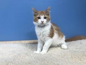Kittens for Sale - Visit Petland Batavia, Illinois Today!