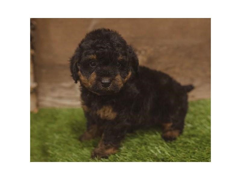 Bernedoodle Dog Black Tan Id2439472 Located At Petland