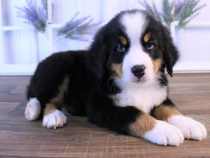 Dogs and Puppies for Sale in Ohio - Petland Carriage Place