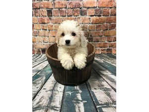 See Our Puppies For Sale | Come visit Petland St  Louis