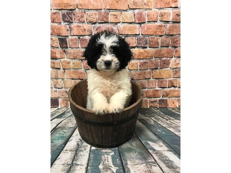 Teddy Bear DOG Black & White ID:2441347 Located at Petland