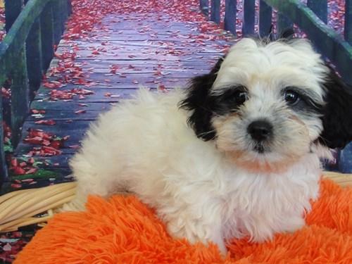 Available Puppies - Petland Merrillville, IN 219-738-1717