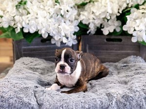 Puppies For Sale | Grand Rapids, Michigan | The Barking Boutique