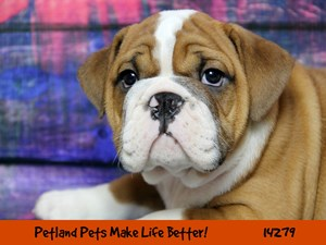 Puppies for Sale in Chicago & Naperville, Illinois - Petland