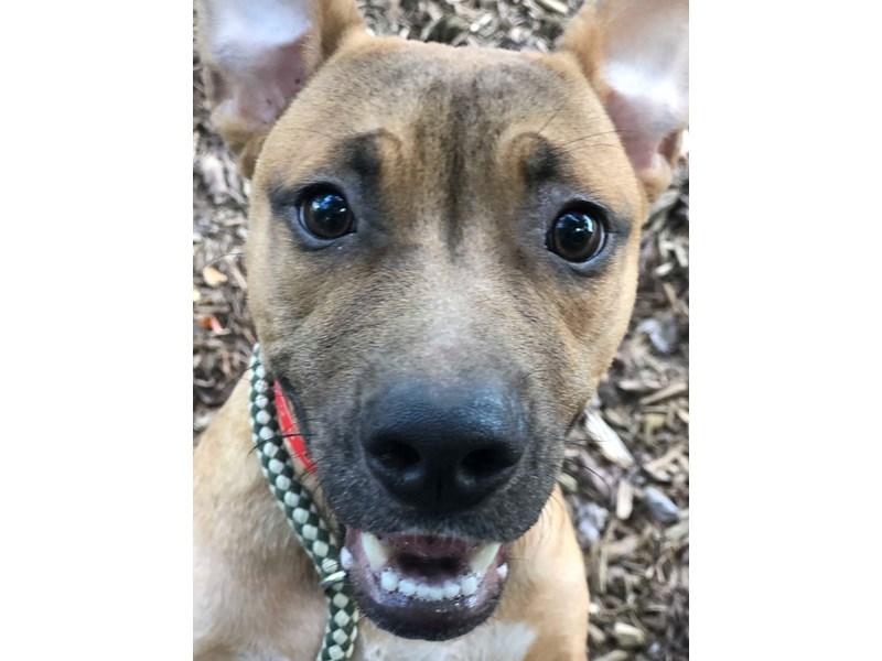 American Pit Bull Terrier-DOG-Female-Brown-2421565-img2