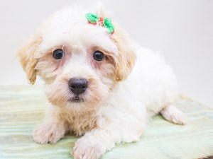 Dogs & Puppies for Sale in Wichita, Kansas - Petland Wichita