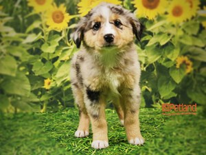 Dogs and Puppies for Sale – Petland Iowa City Pet Store