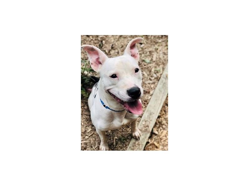 American Pit Bull Terrier-DOG-Male-black,white-2381594-img2