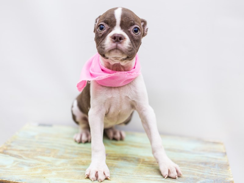Boston Terrier-DOG-Female-Red and White-2459756