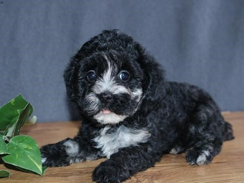 Grand Rapids F1b Cockapoo Dog Adoption Grand Rapids, MI