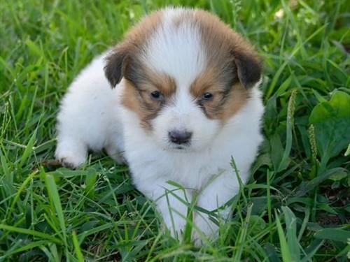 Grand Rapids Pembroke Welsh Corgi Dog Adoption Grand Rapids, MI