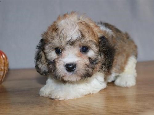 Grand Rapids Cavachon Dog Adoption Grand Rapids, MI