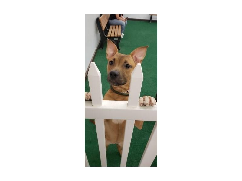 American Pit Bull Terrier-DOG-Female-Brown-2421565-img3
