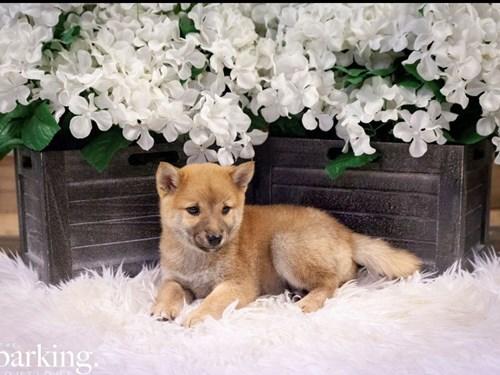 Grand Rapids Shiba Inu Dog Adoption Grand Rapids, MI