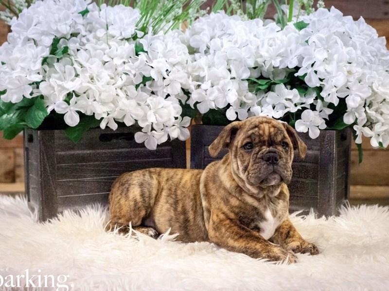 Victorian Bulldoge