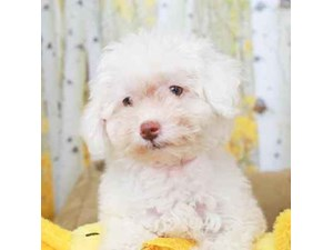 Poochon-DOG-Female--2473121