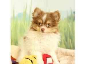 Pomeranian-DOG-Male-CHOC/TAN TRI-2473152