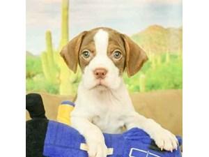 Boggle-DOG-Male-RED/WHT PIEBALD-2473070