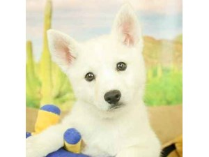 Kleekimo-DOG-Male-CRM/WHT-2473069
