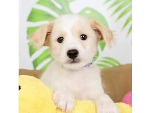 Poo-Shi-DOG-Male--2473074