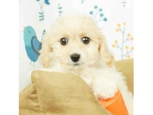Cavapoo-DOG-Female-BLEM WHITE-2473134