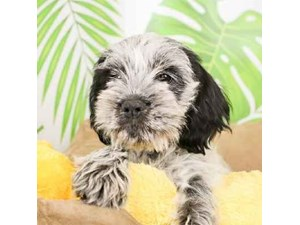 Schnocker-DOG-Male-BLACK WHITE-2473079