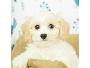 Teddy Bear-DOG-Male--2473062