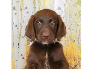 Labradoodle-DOG-Male--2473122