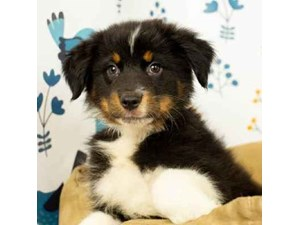 Australian Shepherd-DOG-Male-BLACK TRI-2473025