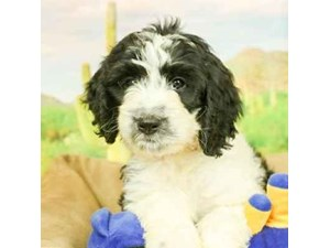 Miniature Bernadoodle-DOG-Female-BLK/WHT-2473137