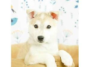 Klee Kai-DOG-Male-AGOUTI-2473184