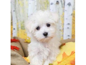 Maltese-DOG-Male-WHITE-2473015