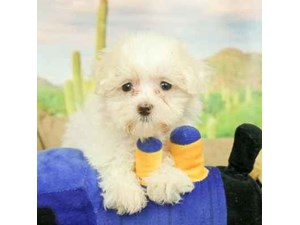 Maltese-DOG-Female-White-2458769