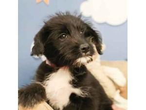 Poo-Shi-DOG-Female--2473153