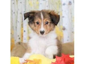Shetland Sheepdog-DOG-Male-SABLE/WHITE-2473106