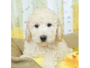 Mini Labradoodle-DOG-Male-CREAM-2473011